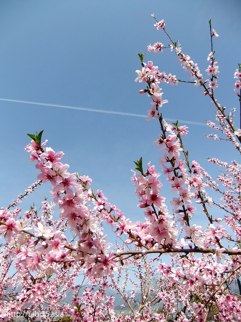 釈迦堂エリアの桃の花(山梨県一宮町)