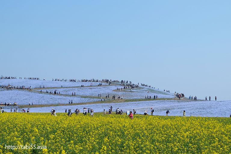 菜の花で黄色に、ネモフィラで青く染まった「見晴らしの丘」