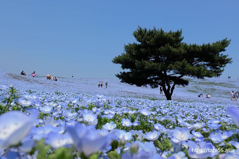 ネモフィラで青く染まった「見晴らしの丘」