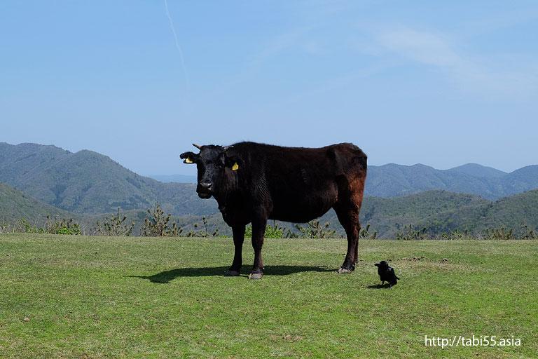 摩天崖にいた牛さんとカラスさん@西ノ島町でみた風景/Nishinoshima town landscape