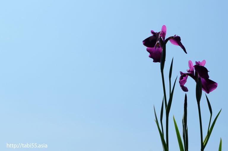 堀切菖蒲園(東京都葛飾区)/Horikiri Iris Garden (Katsushika-ku, Tokyo)
