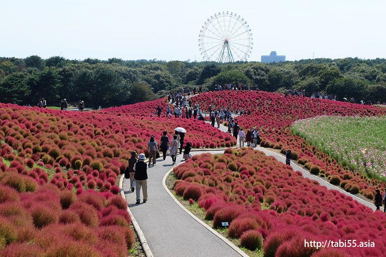 国営ひたち海浜公園のコキア(茨城県)/Kokia of  Hitachi Seaside Park (Ibaraki )