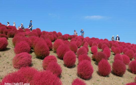 国営ひたち海浜公園のコキア(茨城県)