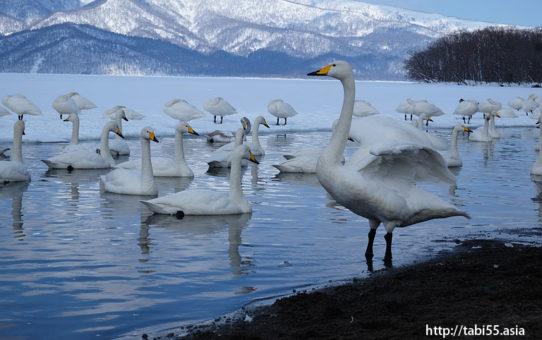 砂湯の白鳥@冬の屈斜路湖