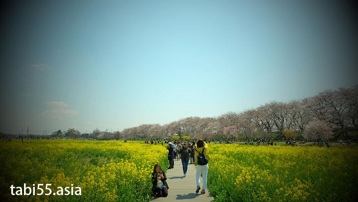 幸手権現堂の桜まつり(埼玉県幸手市)