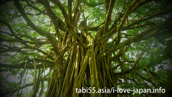 Tekutuku Huge Banyan@Travel by ferry on the Amami Islands (archipelago)【7 nights 8 days】 model course(Kagoshima)