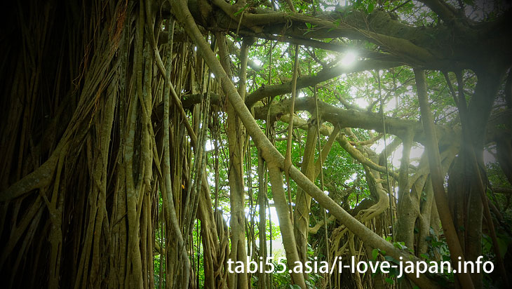 The power spot of Kikaijima's number one!Tekutuku Huge Banyan