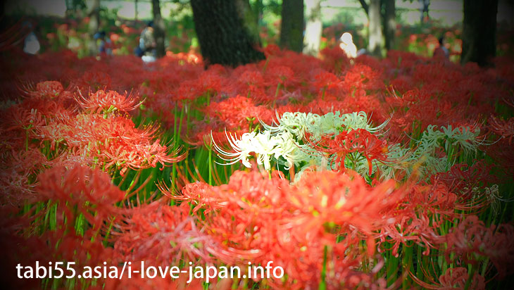 Approximately 5 million pieces of Cluster Amaryllis! It's as if a red carpet(Saitama)