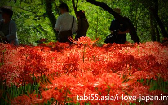 巾着田と一緒に訪れたい!高麗神社など、秋のおすすめ散策コース【池袋から1時間強】
