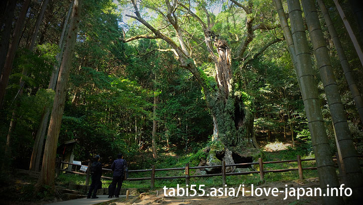 "The bamboo grove of the approach is brilliant! Takeo Oosusa|Shinto shrine+huge camphor tree ""Ohkusu""(Takeo,Saga)"